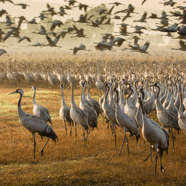 """Common Cranes early morning"" stock image"