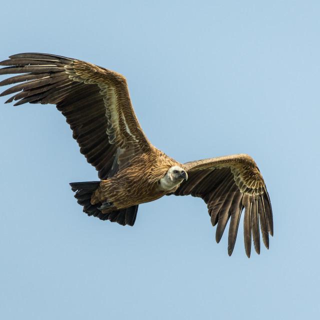 """Griffon Vulture (Gyps fulvus) soaring High"" stock image"