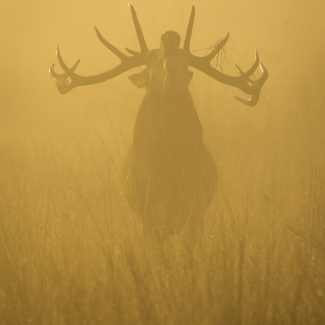 """Red Deer Stag in the Mist"" stock image"