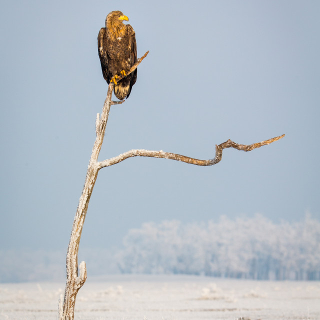 """""""White-tailed Eagle perched in tree"""" stock image"""