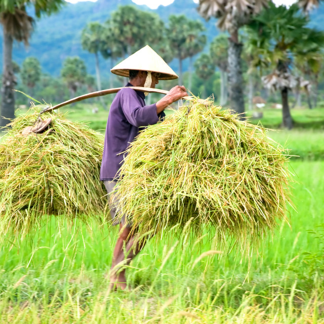 """The unidentified farmer is harvesting rice in the fields in Cantho, Mekong Dalta, Vietnam"" stock image"
