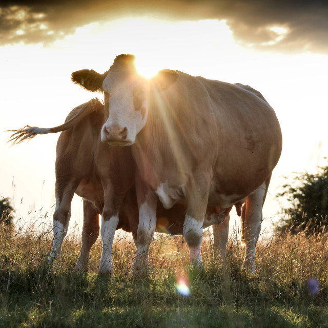 """""""Cotswold Cows at Sunset"""" stock image"""