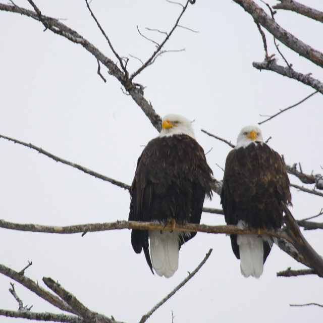 """""""PAIR OF BALD EAGLES"""" stock image"""