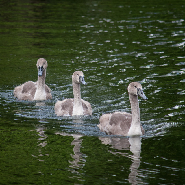 """""""Ugly ducklings"""" stock image"""