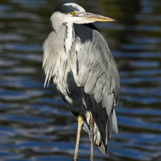 """Perched Grey Heron"" stock image"