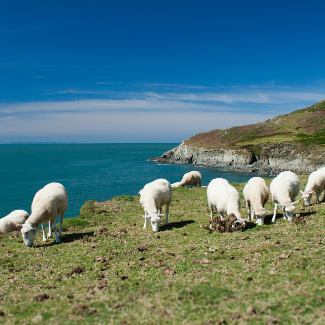 """""""Sheep grazing at Morte Point"""" stock image"""
