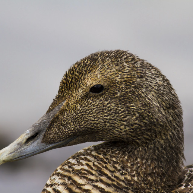 """Female Eider"" stock image"