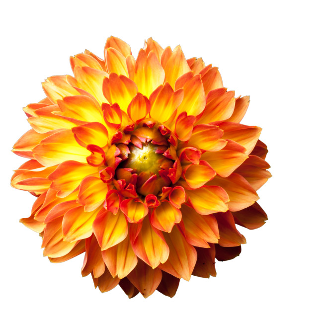 """Four Queens Dahlia"" stock image"