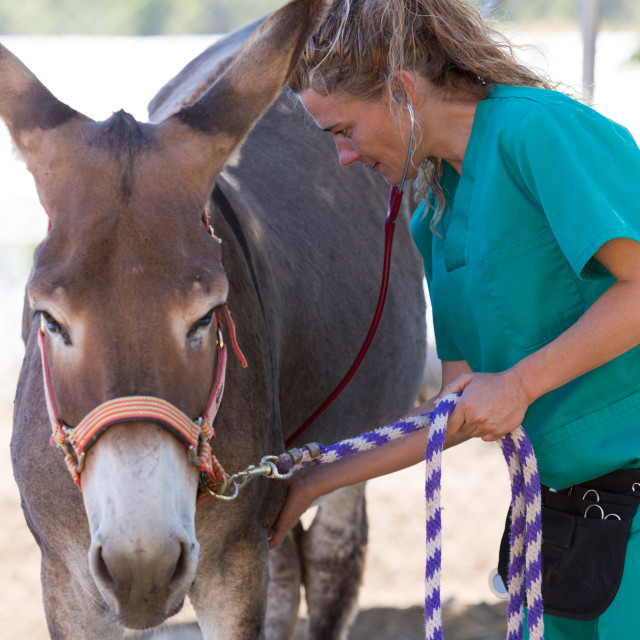 """Veterinary in the farm"" stock image"