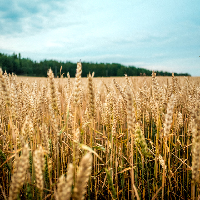 """Field of Wheat"" stock image"