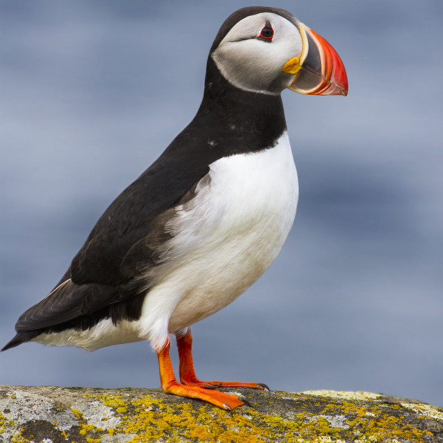 """Puffin"" stock image"