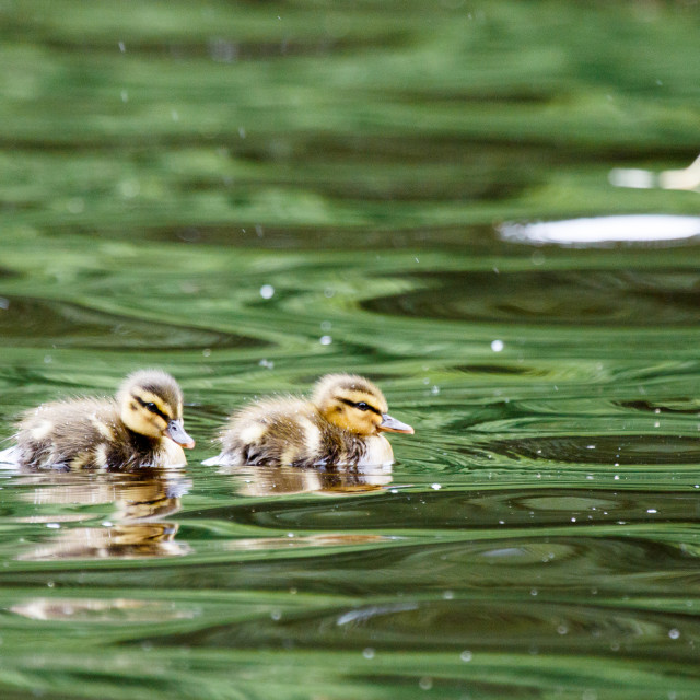 """Ducklings."" stock image"
