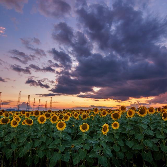 """Sunflower field at sunset"" stock image"