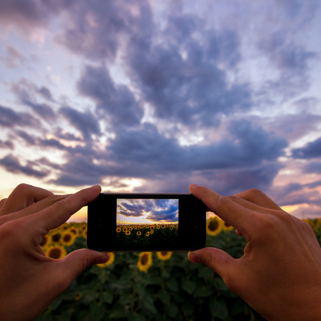 """hand using phone taking photo beauty sunflower field"" stock image"