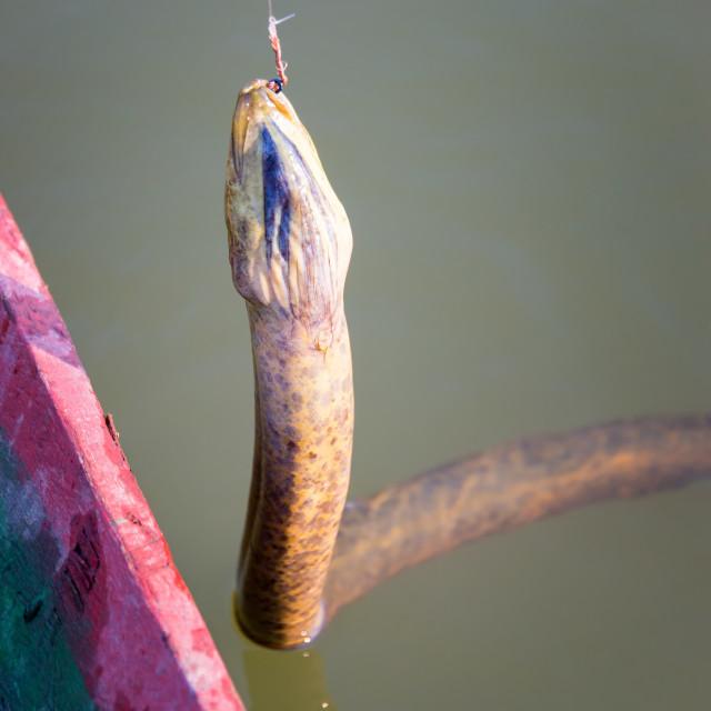 """Anaconda on a Fishhook"" stock image"