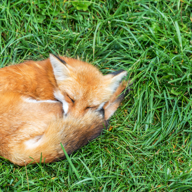 """Relaxing Fox"" stock image"