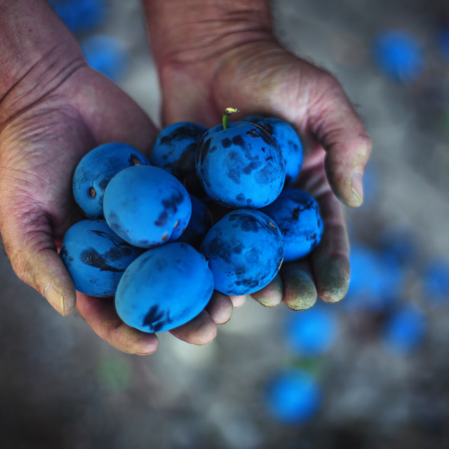 """""""Plum harvest. Farmers hands with freshly harvested plums"""" stock image"""