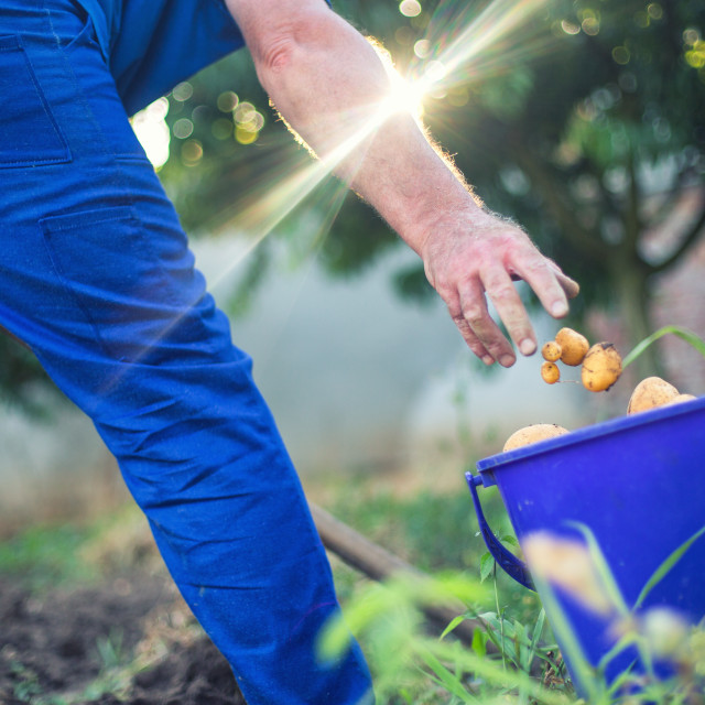 """Farmer working in the garden harvesting fresh organic potatoes"" stock image"