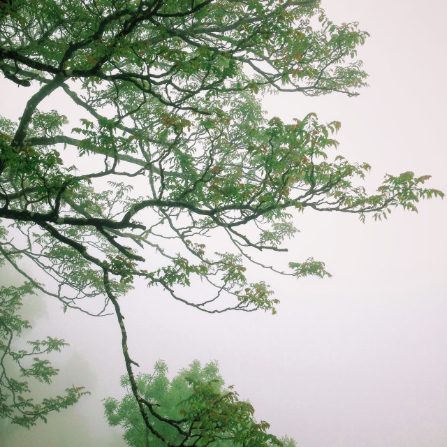"""Green branches in foggy weather"" stock image"