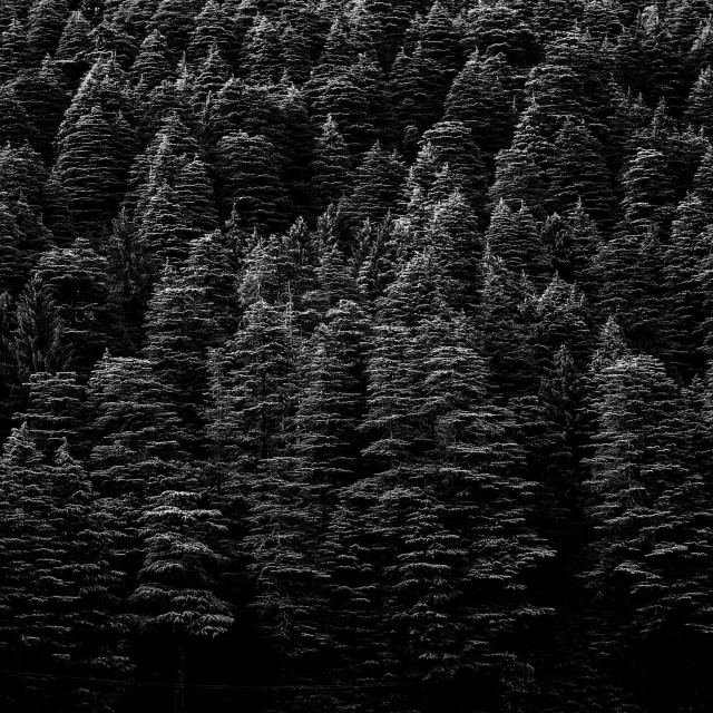"""Cedar Trees"" stock image"