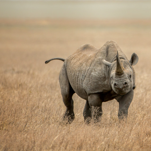 """Black Rhino in the dry grass"" stock image"