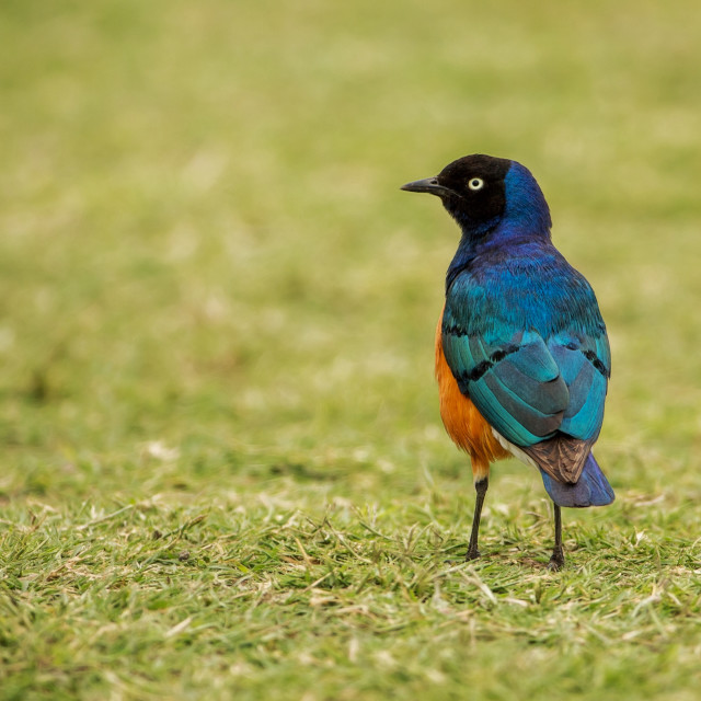 """Superb Starling on Grass"" stock image"