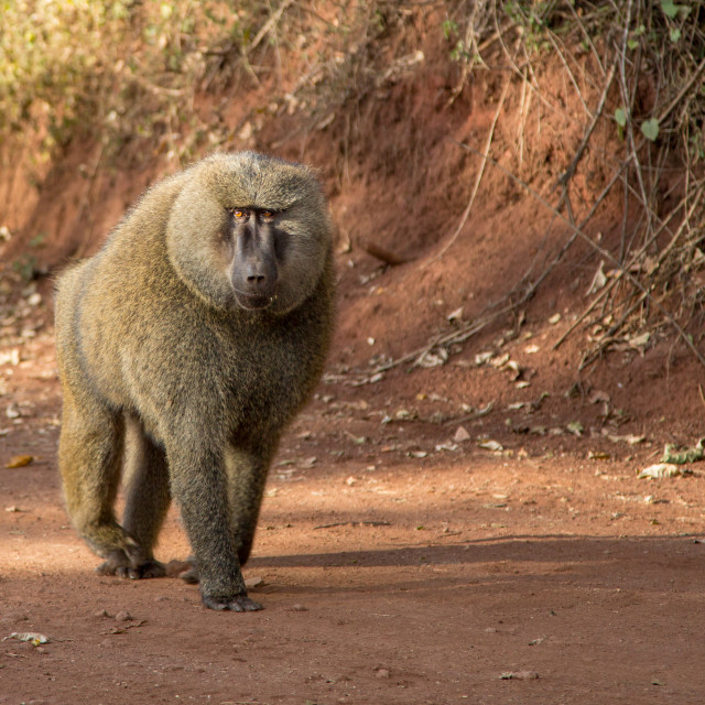 """Olive Baboon walking along track"" stock image"