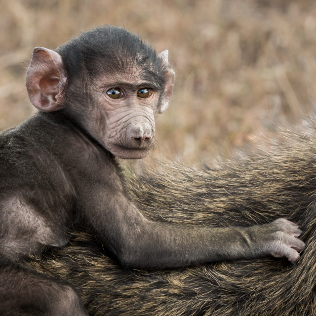 """Young Olive Baboon taking a ride"" stock image"