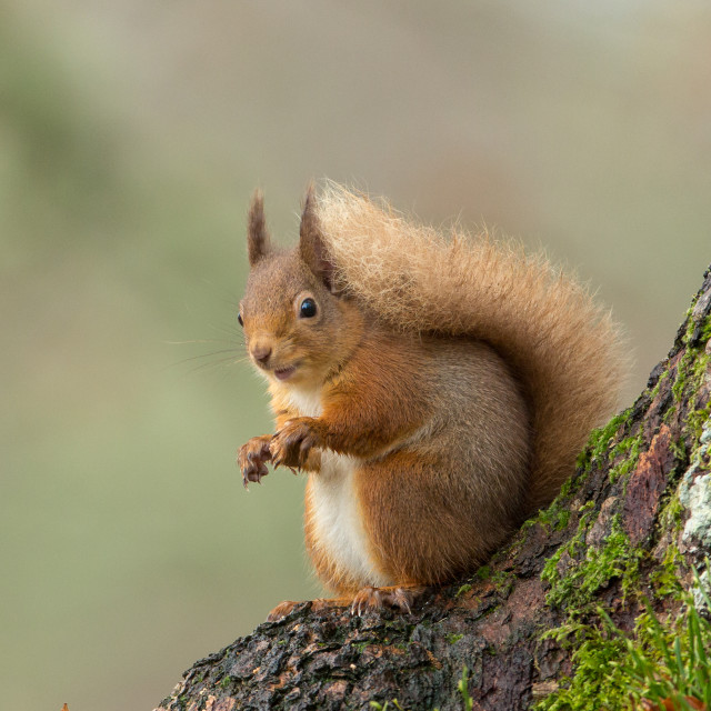 """Red Squirrel at bottom of tree"" stock image"