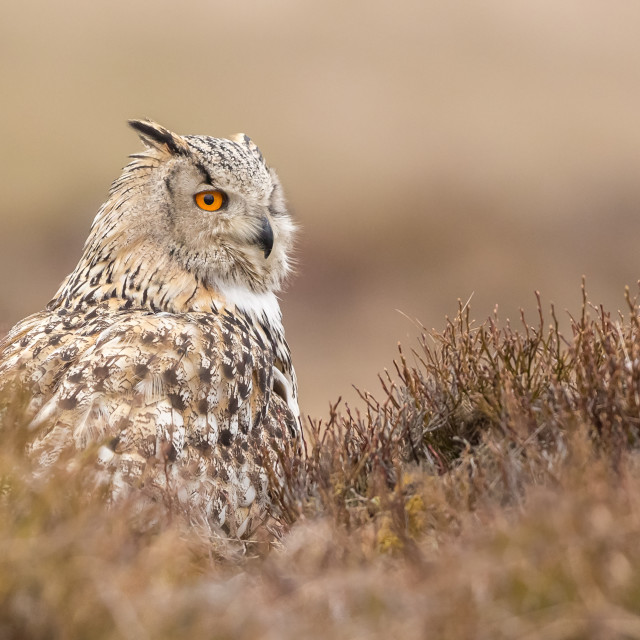 """Western Siberian Eagle Owl on ground"" stock image"