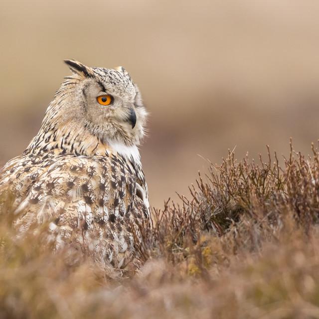 """Western Siberian Eagle Owl on ground"" stock image"