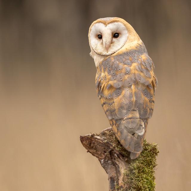 """Barn Owl sitting on a tree stump"" stock image"