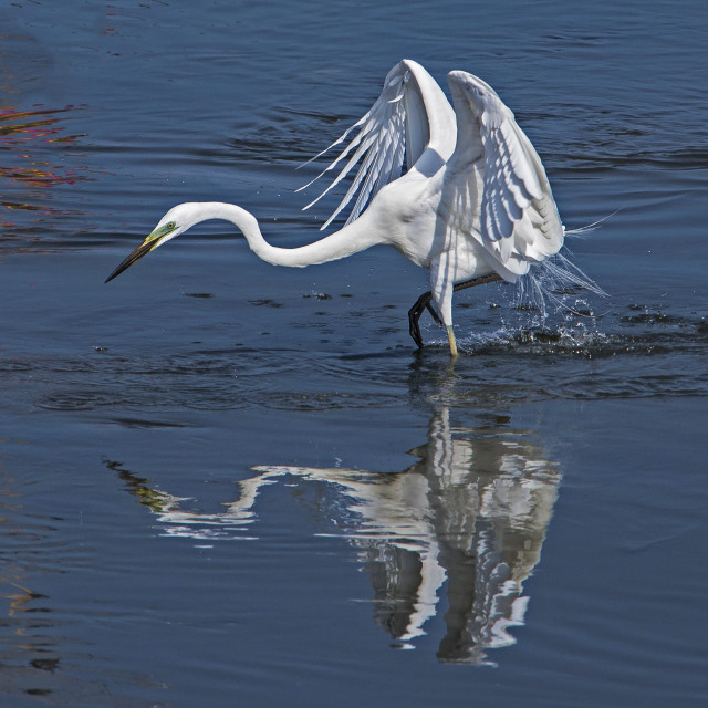 """Great White Egret on the Hunt"" stock image"