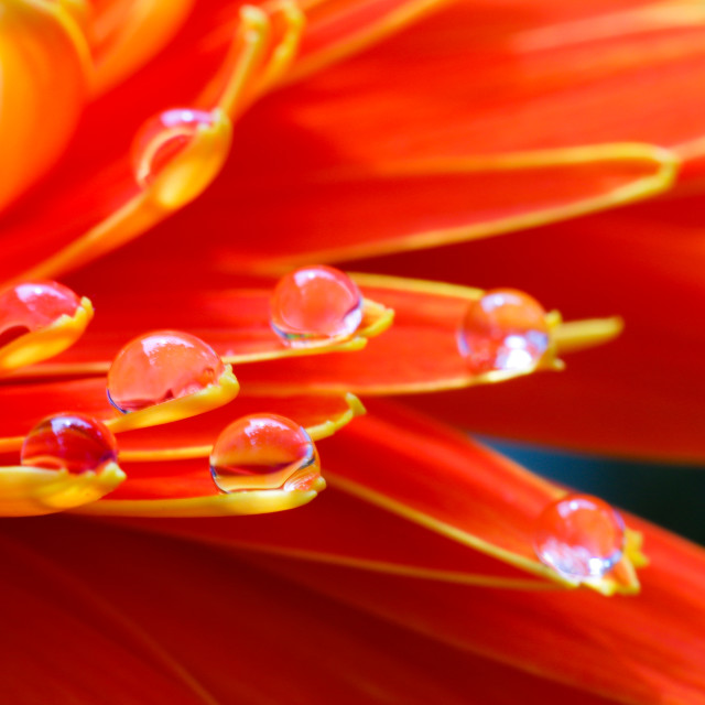"""""""Orange daisy colors in water drops (6)"""" stock image"""