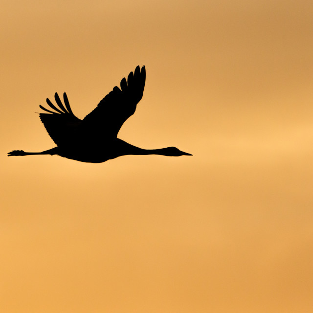 """Silhouette of Common Crane"" stock image"
