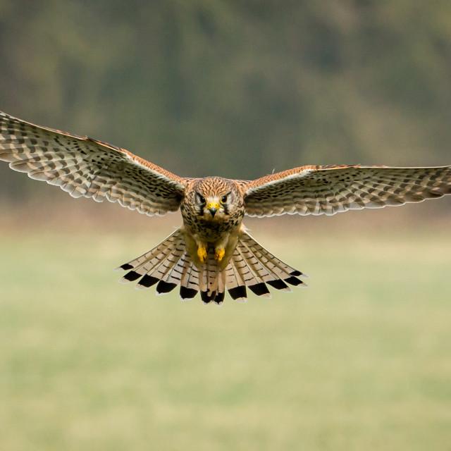 """Common Kestrel in flight"" stock image"