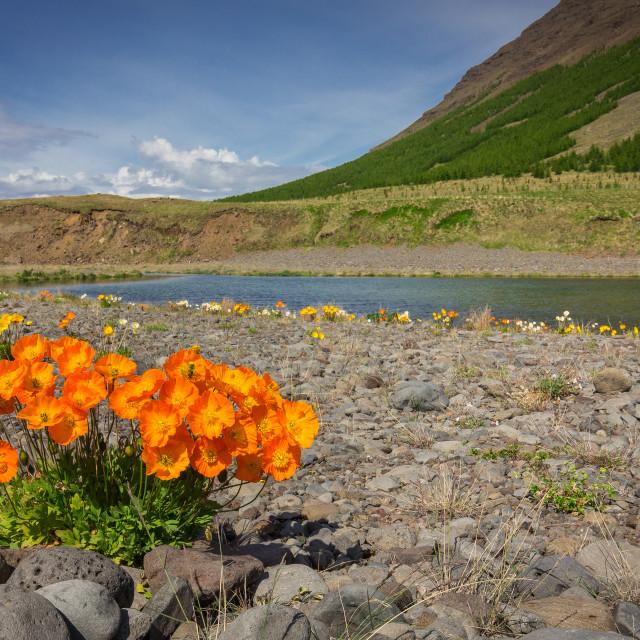 """Orange Poppies in Iceland"" stock image"