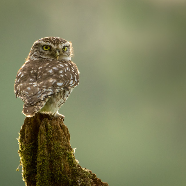 """Little owl on stump"" stock image"