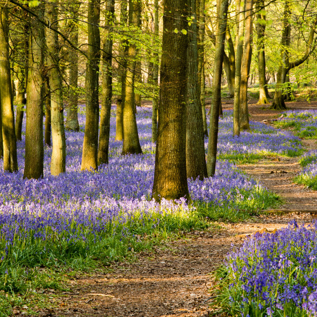 """Winding path through bluebell woods"" stock image"