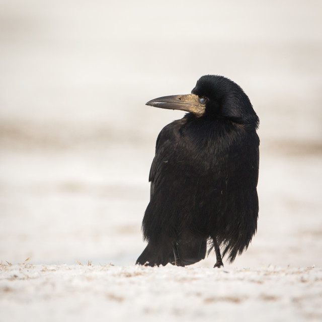 """""""Rook standing in the snow"""" stock image"""