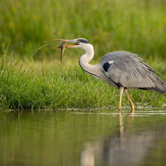 """Grey Heron with Fish"" stock image"