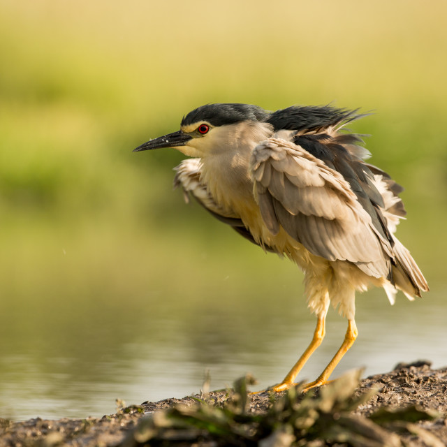"""Black crowned Night Heron shaking feathers"" stock image"