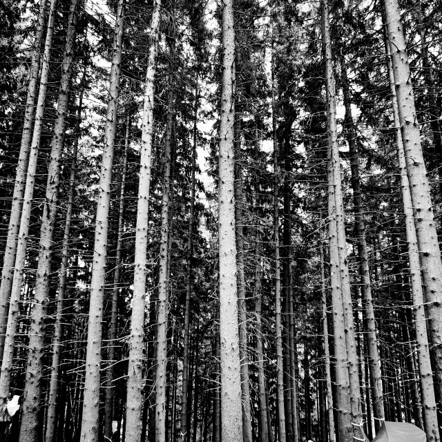 """""""Under The Pines"""" stock image"""