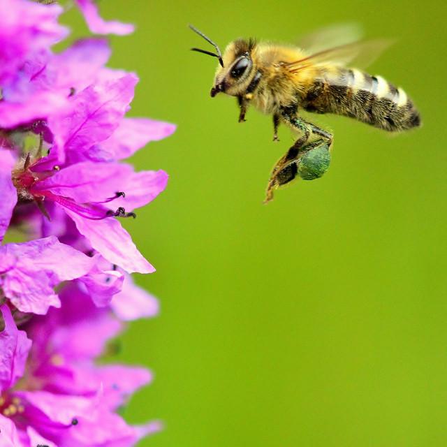 """A Honey bee"" stock image"