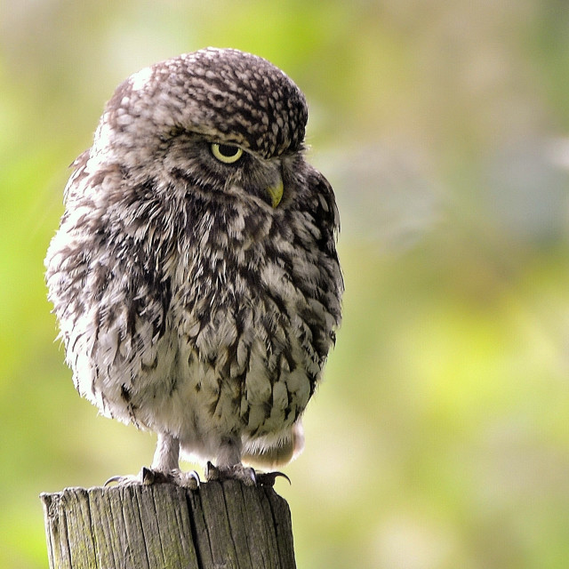 """A Little owl"" stock image"