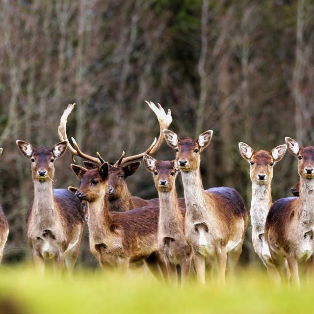 """A Herd of Fallow deer"" stock image"