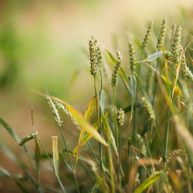 """Wheat in soft focus"" stock image"