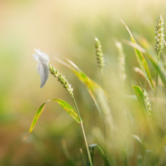 """A Feather resting on Wheat in soft focus"" stock image"