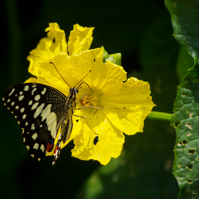 """""""Beautiful butterfly and loofah flower"""" stock image"""