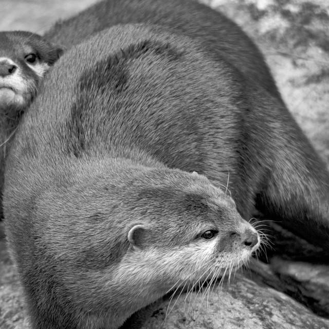 """""""Otter III B&W"""" stock image"""